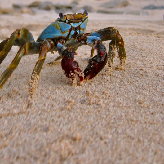 Painted Crab