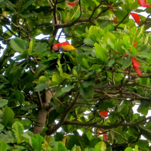 Scarlet Macaw, Sandpiper, Playa Hermosa