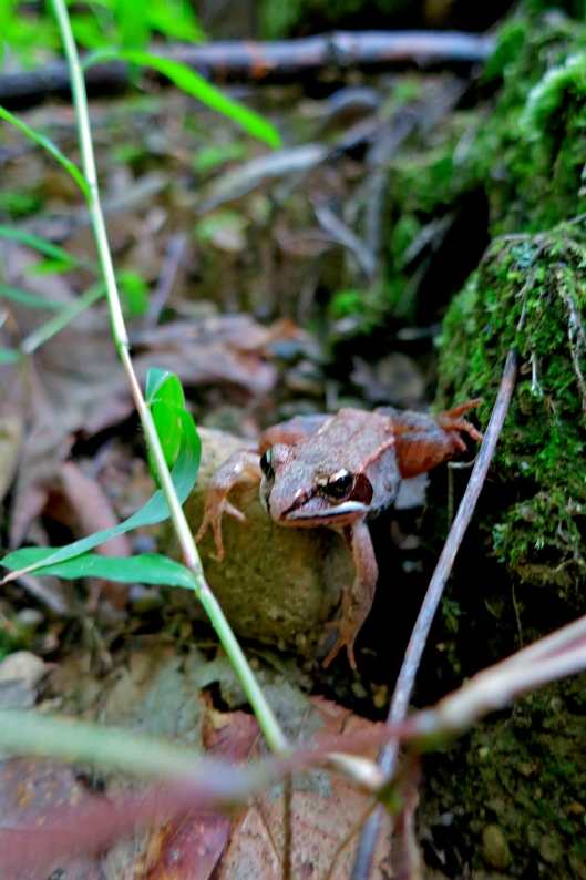 Common Wood Frog