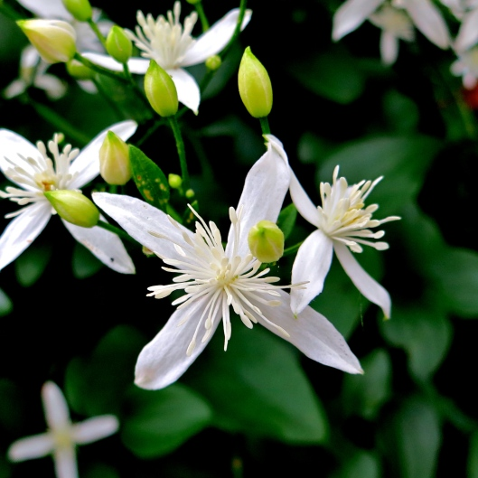 Clematis Tenaflora - Sweet Autumn Clematis