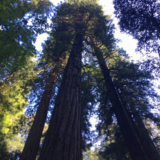 Redwoods, Muir Woods